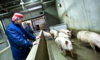 Mer danskt kött minskar antibiotikan