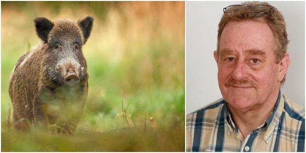 Myndighet föreslår statlig skyddsjakt på vildsvin