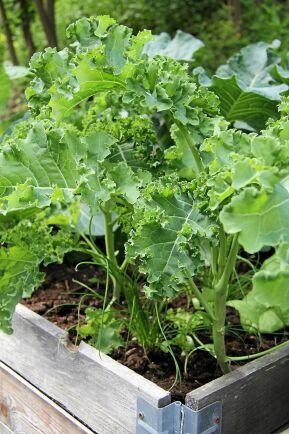 Om grönkålen byter plats från år till år minskar risken för klumprotsjuka.