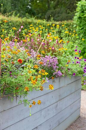 Tagetesens gulröda toner blir en fin kontrast mot blålila blommor, här i lådan representerade av petunia, sommarljus och oregano.