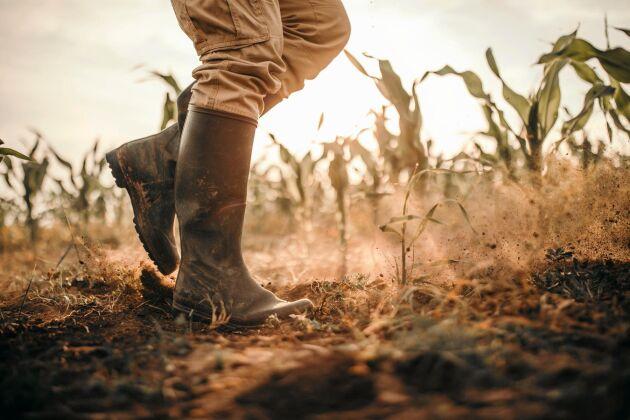 Rekordvärmen i juni hade relativt liten inverkan på Europas grödor, även om regionala skillnader finns.