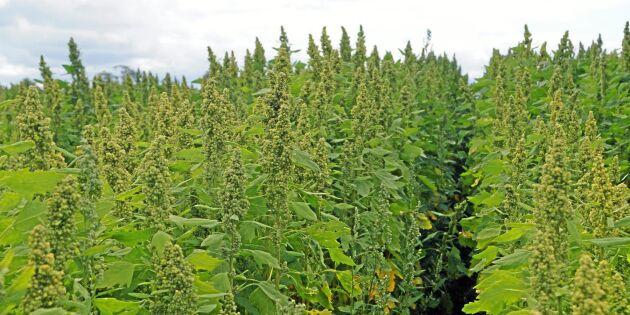 Snart skördas skånsk quinoa