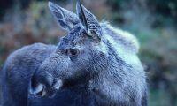 Sveaskog vill locka fler älgjägare