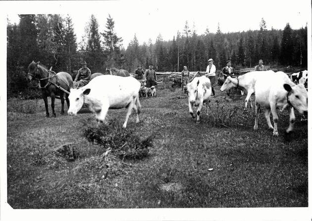 Det var liv och rörelse i skogarna förr, runt fäboden. Här hjälptes man åt med buföring, att valla hem korna i början av september. Bilden är tagen sent 1930-tal.