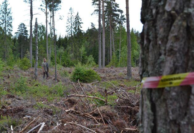 Rejäl miss. I förgrunden syns Sveaskogs snitsel för avverkningens gräns. Men enligt fastighetskartan går gränsen där Marcus Werjefeldt står.