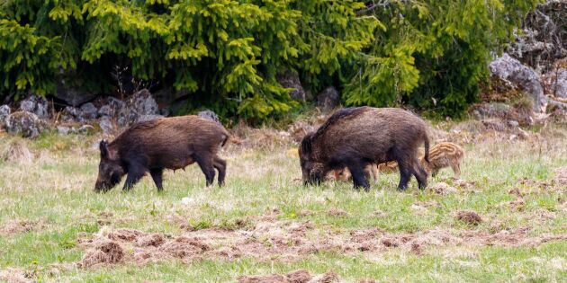 99 procent av Nordens vildsvin finns i Sverige