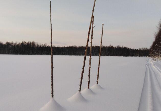 Humlen växer på störar. Till sommaren är planen att bygga upp ett vajersystem med sex meter höga stolpar.