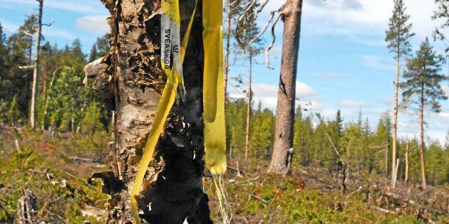"""""""Sveaskog avverkar sparade naturskogar"""""""
