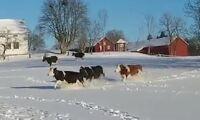 TV: Kosläpp i februari – se djuren springa ut i snön
