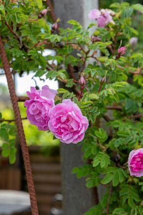 Den remonterande mossrosen Salet har slagit ut sina ljuvliga, fyllda blommor.