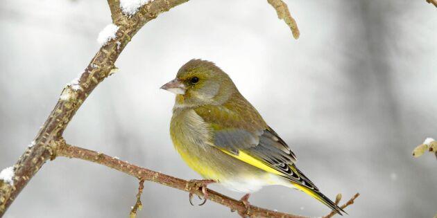 Lär dig de första vårfåglarnas sång