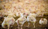 Nytt samarbete om kycklingchark