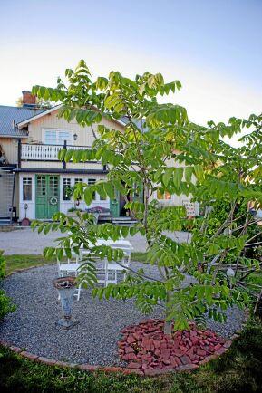 Susanne som är trädgårdsdesigner har förstås vackra växter, som denna Manchuriska valnöt.