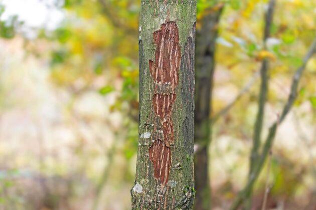 Hjort som hjort. Både dov- och kronhjort ger stora skador på skogen i Skåne. Trots det undantas Skåne från den utökade skyddsjakten.