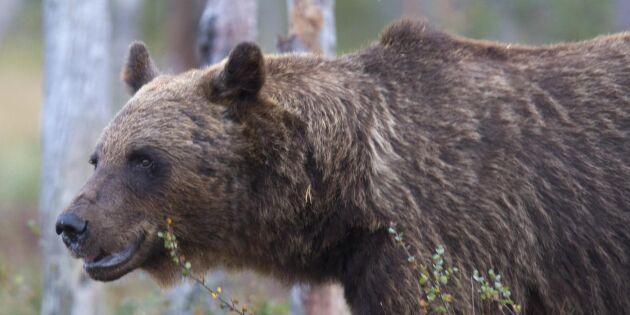 Skogsbränderna kan gynna björnarna