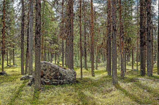 Regeringen uppmanas i ett upprop att se till att Sveaskog skyddar mer av statens skogar.