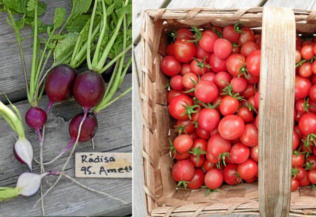 Nytt och spännande att odla – här är frönyheter för 2020 inom grönsaker!