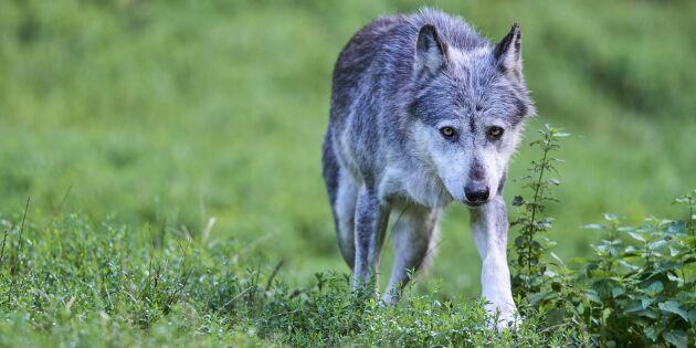 Vargstammen i Alperna ökar stort