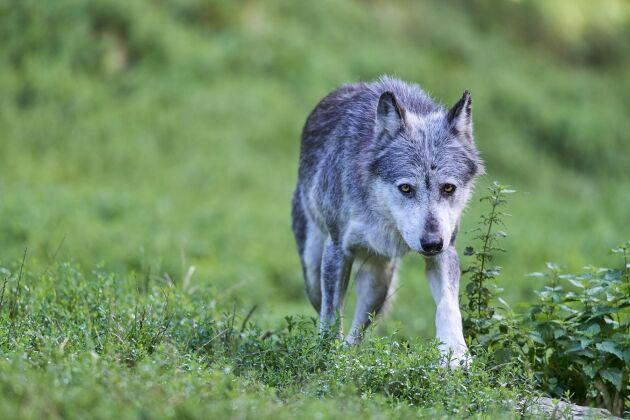 Vargarna blir fler i Alperna.