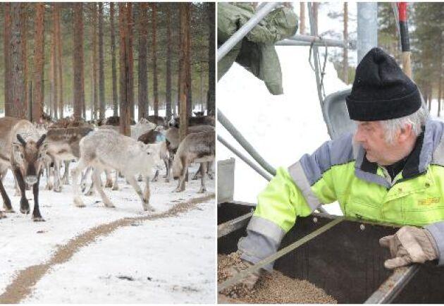 Renägarna tvingas mata renarna med pelletsfoder under det så kallade låsta betet under vinterhalvåret. Jan-Erik Gustafsson kontrollerar här att fodret är på väg i foderkälken.