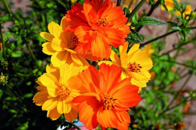 Gullskära 'Fruit Crush' är en solig mix i gult och orange som blommar rikligt en lång period. Så inomhus i mars-april eller direkt på friland i maj, blommar i juli-oktober. Rara växter.