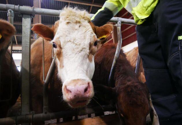 Boxarn var en av de totalt sju kor som räddades undan branden. Hon har brännskador längst ut på öronen.