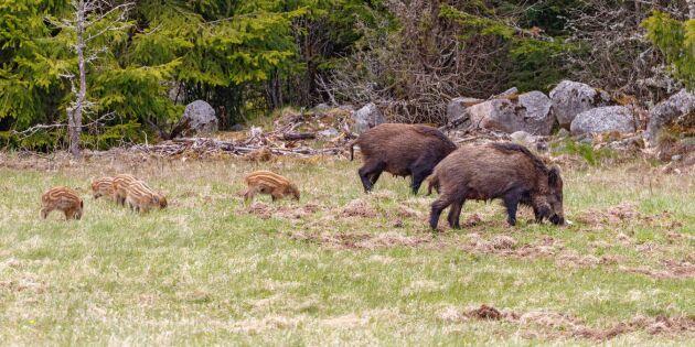 Nya jakttider för klövvilt förslås