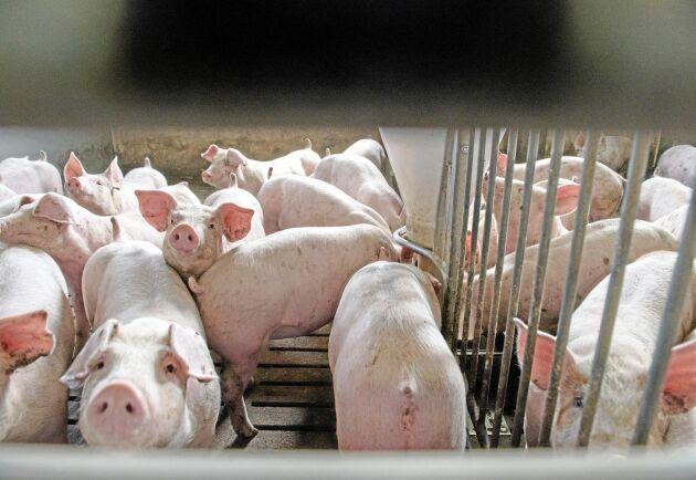 Ryssland klarade trycket. Tre år efter sanktionerna är landet tillbaka i världstoppen som spannmålsexportör och snart självförsörjande på griskött.