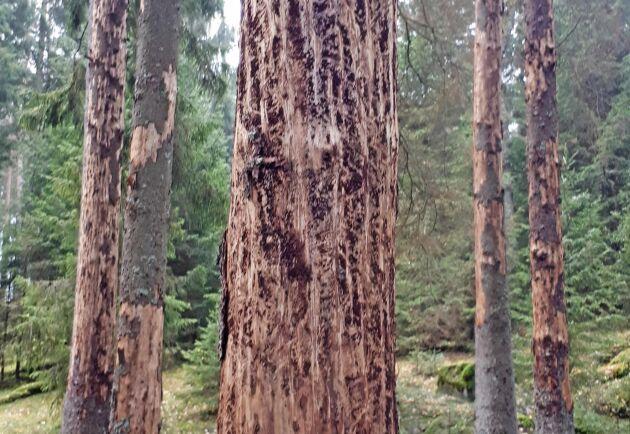 Skogsstyrelsen och Naturvårdsverket gör en satsning för att minska spridningen av granbarkborre från formellt skyddad skog.