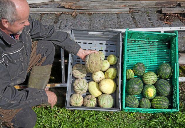 Meloner som skickas till butik väger runt ett kilo styck.