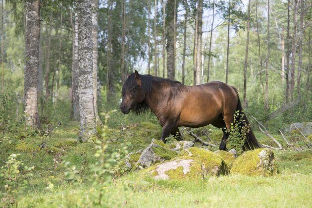"""För Forbrigds Tyr väntar ett nytt äventyr i Danmark. Genom projektet """"Vikinger på rejse"""" ska han hjälpa till att berätta historien om vikingatidens hästar."""
