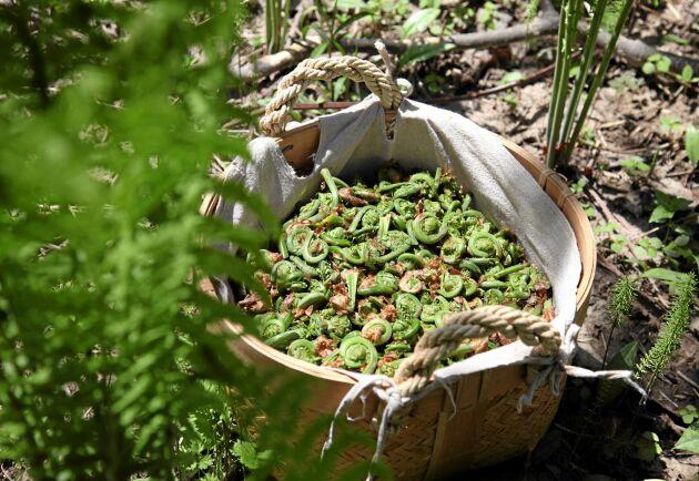 Strutbräken börjar året med att skicka upp små ätliga krusiduller. Förväll och ät med lite smör. Foto: IBL.