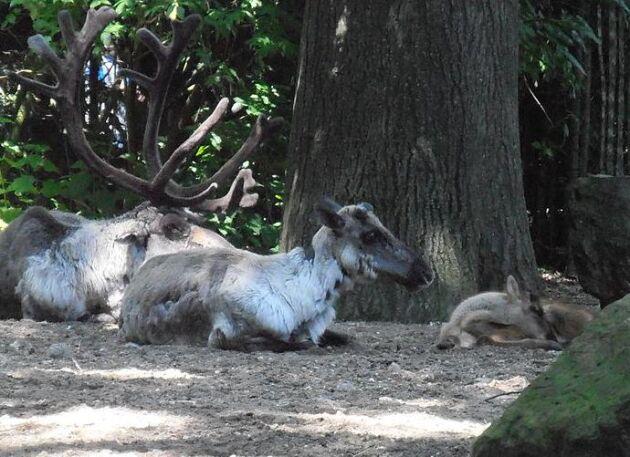 Skogsvildrenar. Bilden är tagen i djurpark.