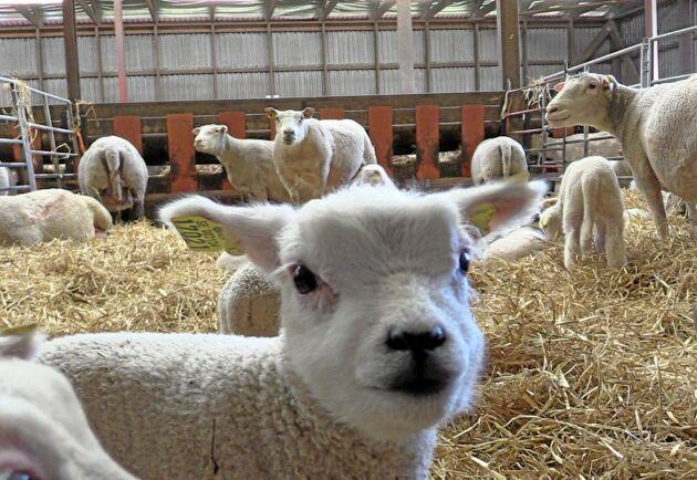 Andelslamm rekommenderar att inte sälja mer än 60 procent av årets lamm.