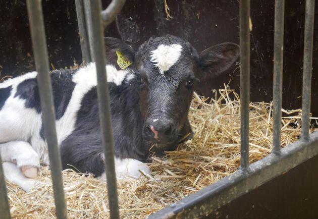Kalvportalen handlar om både mjölk- och köttkalvar.