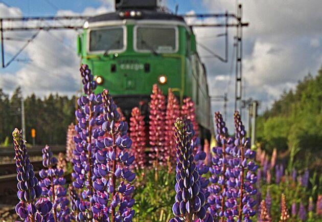 Flis och massaved transporteras från Norge till Sverige sju dagar i veckan.