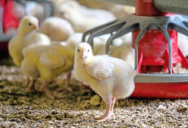 I en ny studie ska forskare undersöka om algtillskott kan stärka kycklingars immunförsvar.