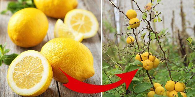 Så ersätter du de tropiska miljöbovarna med svensk frukt!