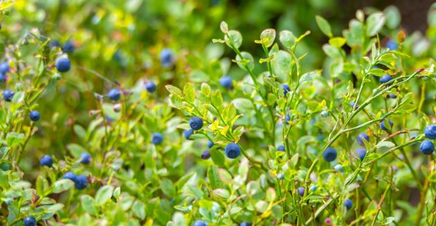 Det blir färre blåbär i de norrländska skogarna i år. I varje fall enligt en prognos från SLU.