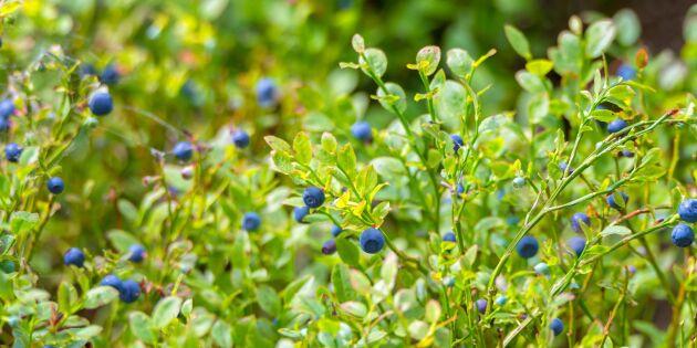 Färre blåbär i skogarna i år – men på vissa ställen kan de dyka upp!