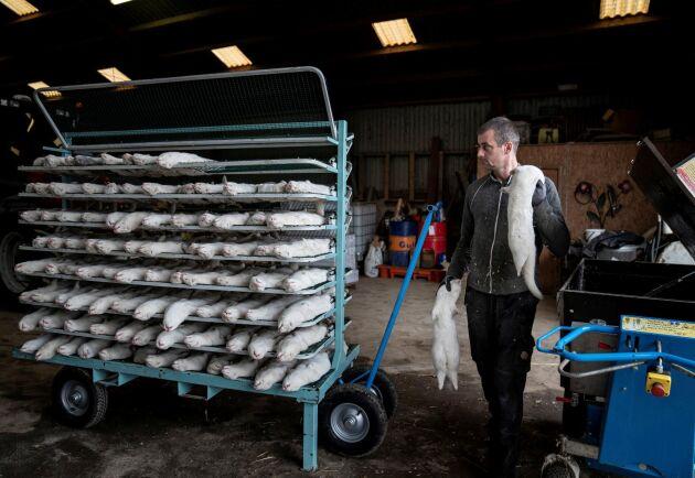 Friska och coronafria minkar har avlivats i Danmark – trots att regeringen inte har juridiken på sin sida i sin uppmaning om masslakt. På grund av kapacitetsproblem får myndigheterna ta hjälp av militären för att begrava minkarna i massgravar.