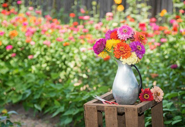 Zinnian har starka, långa stjälkar och generösa blommor. Perfekt för buketter.