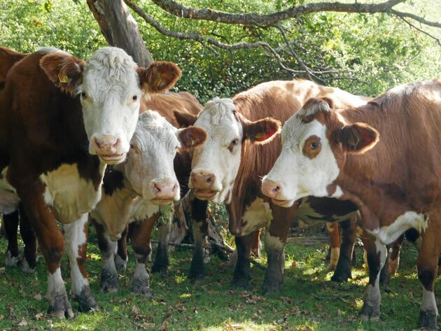 En lätt ras som Hereford är enklare att ha på vassbete och på betesmark i svårare terräng.