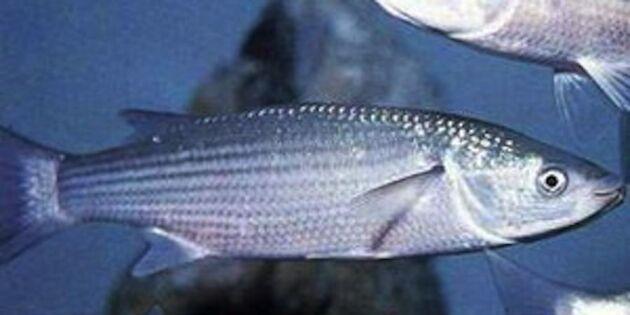 Sensation på Västkusten – fisk som aldrig fångats i Sverige förut!
