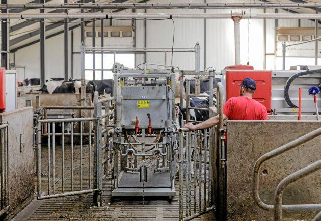 Verkstolen spelar en central roll i det nya lösdriftsstallet på Södra Kärr. Alla kor som visar minsta tendens till hälta kollas liksom alla sinkor. I roboten har man installerat rening av det vatten som sprejas på klövarna.