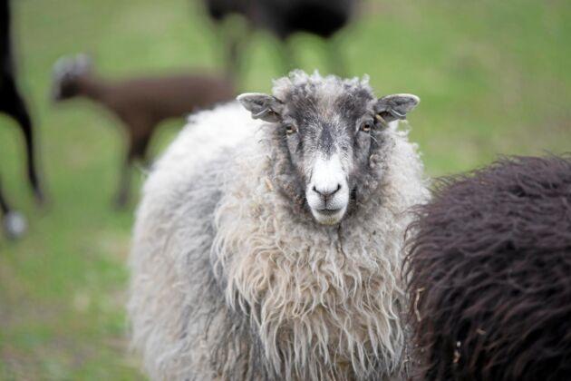 Helsingefår är en perfekt ras för bete, men är man ute efter fin ull, kött eller mjölk så är det enligt Ann bättre att välja någon annan ras.