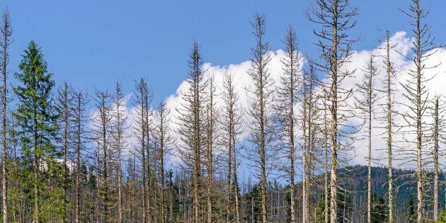 Forskare: Så ska skogarna klara barkborrarna