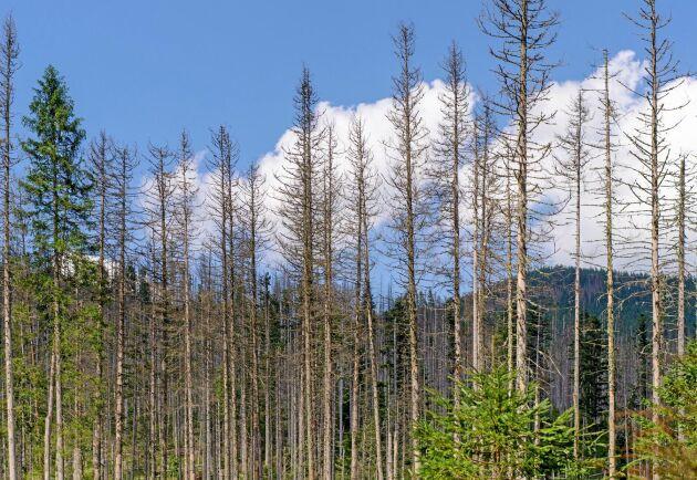 Centraleuropas granskogar är hårt drabbade av skador från barkborre.