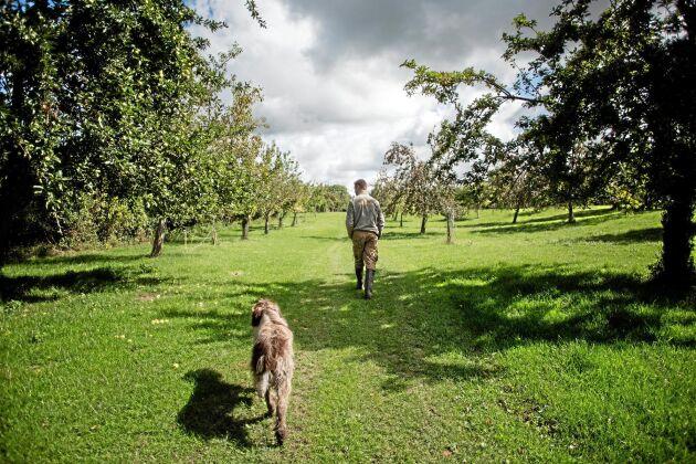 Hervé de Mézerac med sin 14-årige följeslagare på promenad i äppelodlingen.