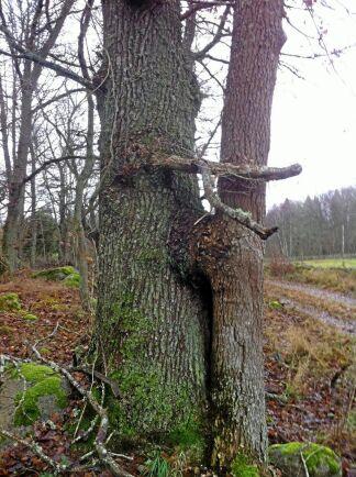 På Kvalmsö i Blekinge finns denna AskEk.
